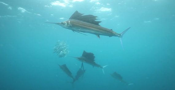 Faecherfische jagen Sardinen