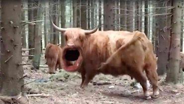Kuh mit Menschenmund