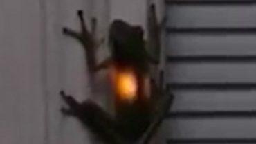 Frosch isst Gluehwuermchen