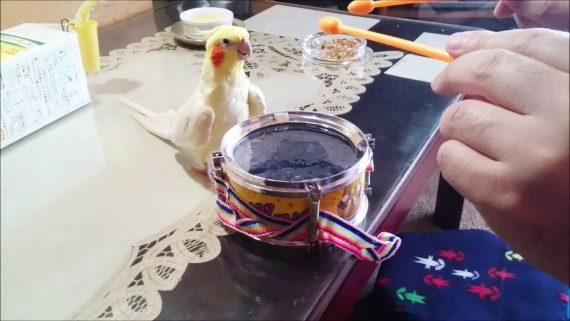 Kakadu spielt Trommel