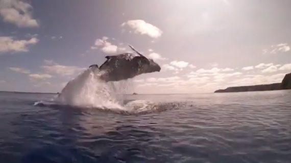 Buckelwal nimmt Anlauf und springt aus dem Wasser