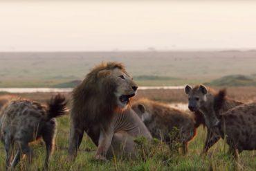 Loewe vs Hyaenen