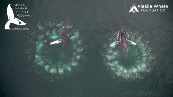 buckelwale jagd drohnenvideo